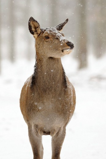Red Deer Cervus elaphus, female, in the snow : Stock Photo
