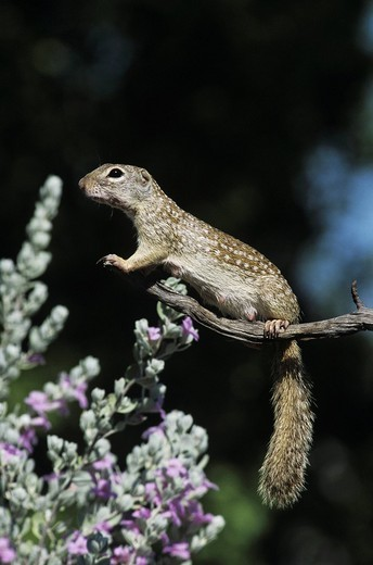 Mexican Ground Squirrel Spermophilus mexicanus, adult smelling on blooming Texas Sage Leucophyllum frutescens, Starr County, Rio Grande Valley, Texas, USA : Stock Photo