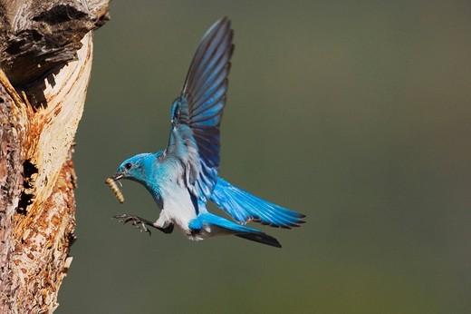 Mountain Bluebird Sialia currucoides, male landing at nesting cavity with prey, Rocky Mountain National Park, Colorado, USA : Stock Photo