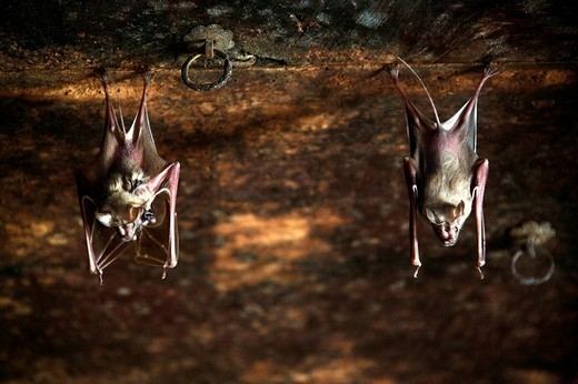 Bats on the ceilings of old Havelis, Persian for enclosed space, Jaisalmer, Rajasthan, India, Asia : Stock Photo