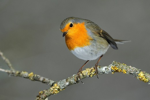 Stock Photo: 1848-93315 Robin Erithacus rubecula on his lookout