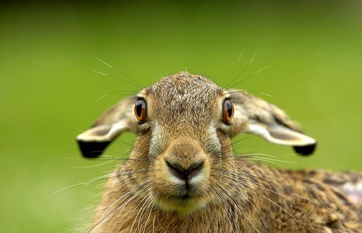 Young hare : Stock Photo