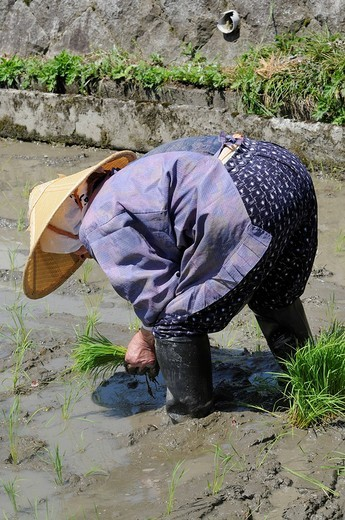 Female rice farmer wearing rice straw hat planting rice shoots by hand, Ohara, Japan, Asia : Stock Photo