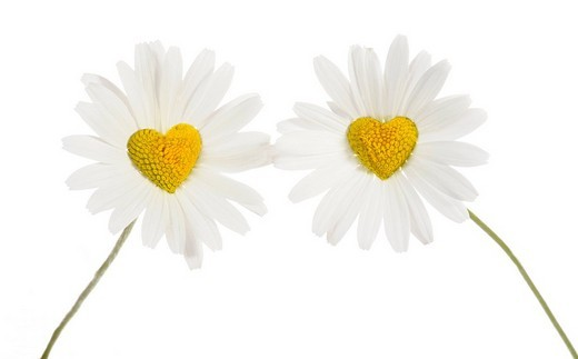 Daisies Leucanthemum with disc flowers in heart shape : Stock Photo