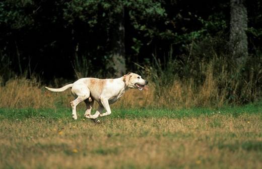 Beagle, running : Stock Photo