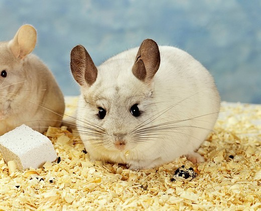Stock Photo: 1848-99784 White Long_tailed Chinchilla Chinchilla lanigera