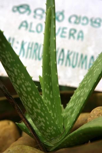 Aloe Vera in the herb garden at Somatheeram Ayurveda Resort, traditional Ayurvedic medicine spa resort, Trivandrum, Kerala, India, Asia : Stock Photo