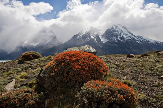 Fire Tongue or Scarlet Gorse Anarthrophyllum desideratum with Torres del Paine Range in the background, Torres del Paine National Park, Patagonia, Chile, South America : Stock Photo