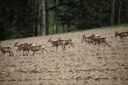 Stock Photo: 1848R-273520 European Roe Deer Capreolus capreolus crossing a field in springtime