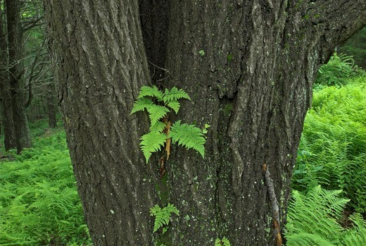 Stock Photo: 1848R-273886 Fern growing on a tree, Shenandoah National Park, Virginia, USA