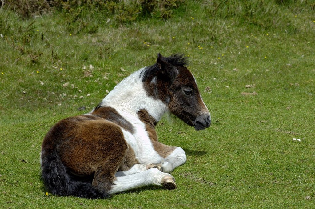 Pony foal Dartmoor National Park Devon England : Stock Photo