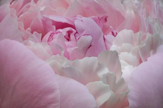 Stock Photo: 1848R-275965 Peony ´Albiflora´ / Paeonia hybride