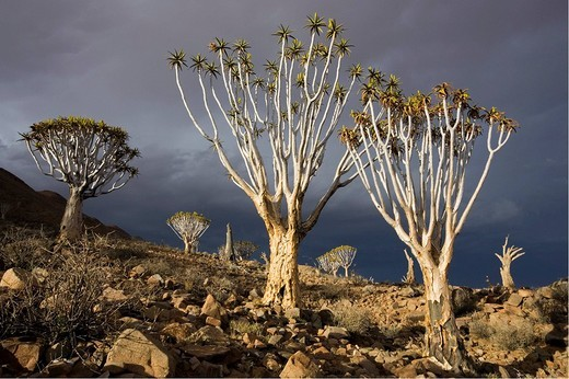 Stock Photo: 1848R-276154 Dying quiver tree Aloe dichotoma forest with a upcoming thunderstorm  Tiras Mountains, Farm Koiimasis, Namibia