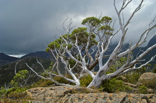 Stock Photo: 1848R-276246 Gum trees on Labyrinth in front of Parthenon Mountains on Overland Track in Cradle Mountain Nationalpark Tasmania Australia