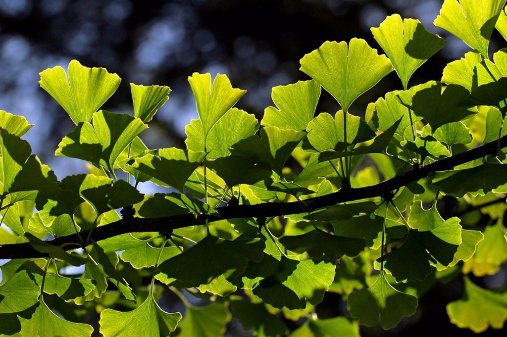 Ginkgo - maidenhair-tree - branch with leaves Ginkgo biloba : Stock Photo