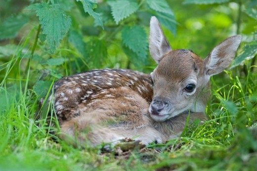 Stock Photo: 1848R-277502 European fallow deer, fawn - Dama dama dama