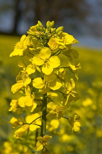 Rape, Canola Brassica napus in bloom, Schleswig-Holstein, Germany, Europe : Stock Photo