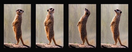 Meerkats, collage, four individual pictures, Stuttgart, Germany, Europe : Stock Photo
