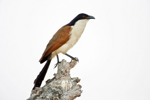 Stock Photo: 1848R-277937 White-browed Coucal Centropus burchelli, Moremi National Park, Moremi Wildife Reserve, Okavango Delta, Botswana, Africa