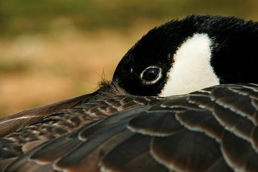 Canada Goose Branta canadensis : Stock Photo