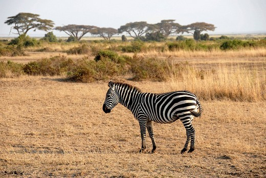 Stock Photo: 1848R-278396 Zebra with acacias in the savanna Amboseli National Park Kenya