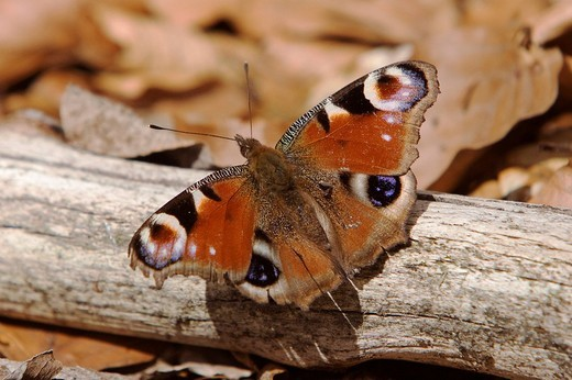 Stock Photo: 1848R-278656 European Peacock Caterpillar butterfly Inachis io, Nationalpark Bayrischer Wald Bavarian Forest National Park, Bavaria, Germany, Europe