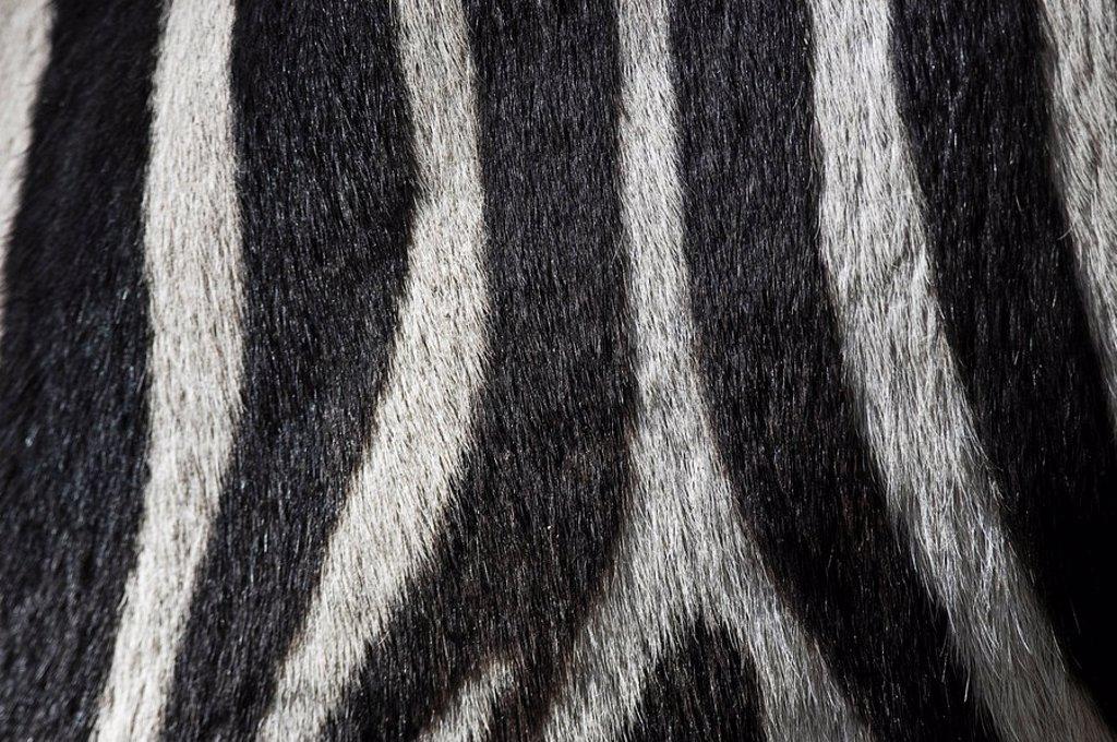 Fur detail, Zebra stripes Equus quagga : Stock Photo