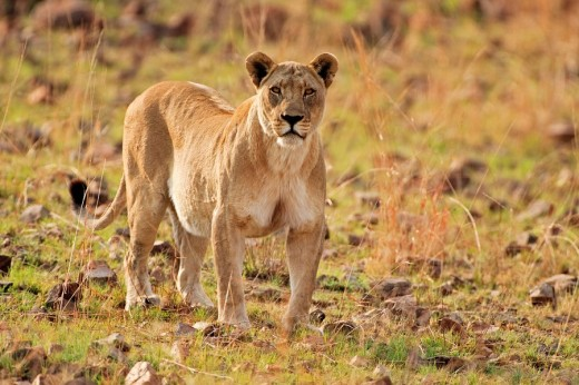 Lioness Panthera leo, Pilanesberg Game Reserve, South Africa, Africa : Stock Photo