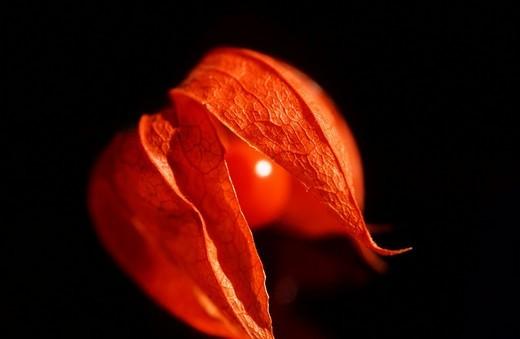 Jananese Lanterns Physalis alkekengi : Stock Photo