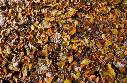 Stock Photo: 1848R-279444 Brown and yellow autumn leaves of beech-tree with snow