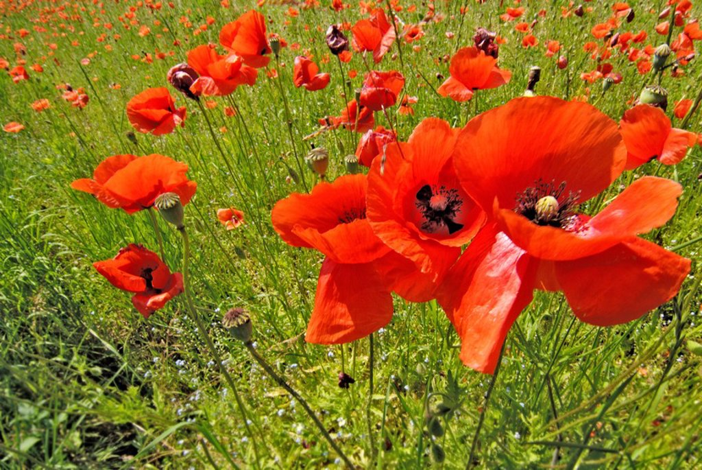 Common corn poppy, Papaver rhoeas near Munich, Bavaria : Stock Photo