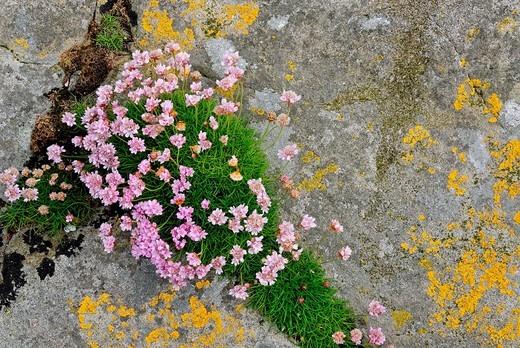 Sea thrift Armeria maritima and lichen on Fair Isle, Shetland, Scotland, United Kingdom, Europe : Stock Photo