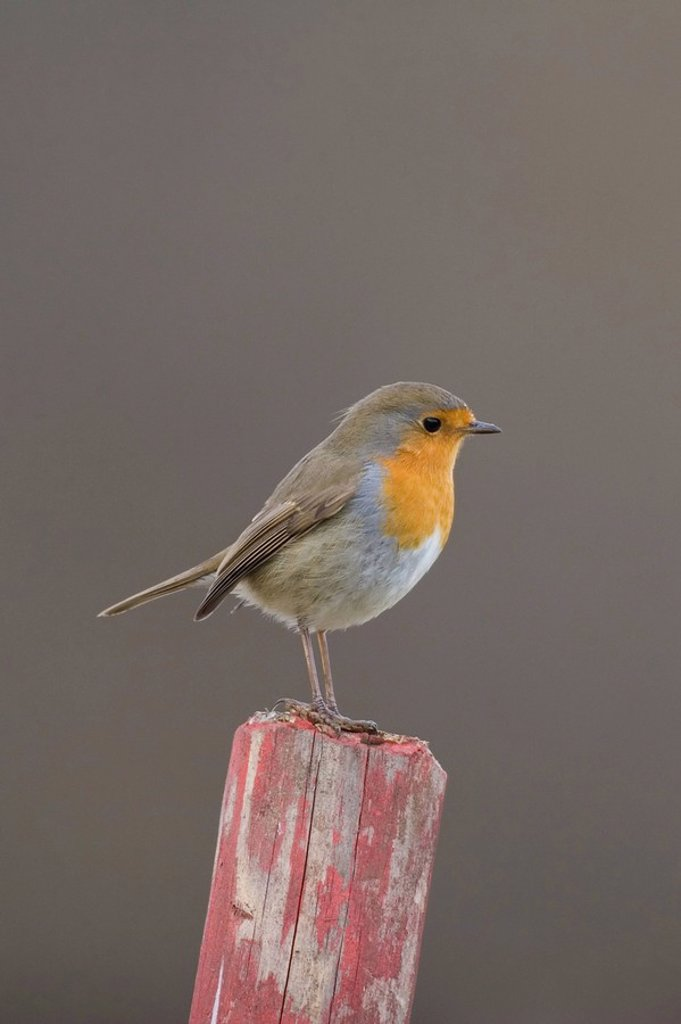 Stock Photo: 1848R-280305 European Robin Erithacus rubecula
