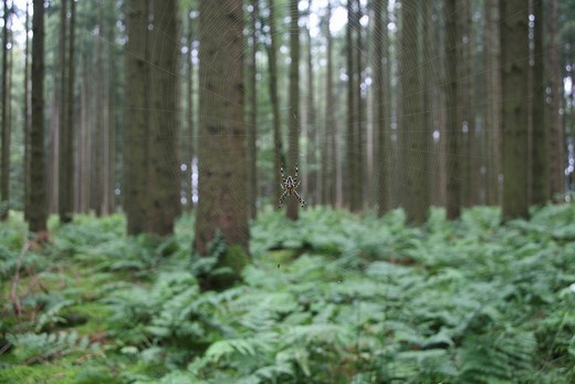 Stock Photo: 1848R-280590 European garden spider Araneus diadematus in web between fir trunks Picea abies