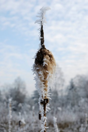 Partially emptied seed vessel of Typhia latifolia L  typhiaceae covered with hoarfrost : Stock Photo