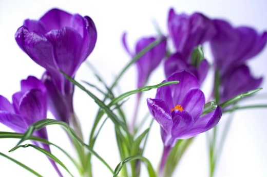Crocuses Crocus : Stock Photo