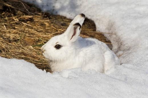 Stock Photo: 1848R-280792 Mountain Hare Lepus timidus hiding, snow, Germany, Europe