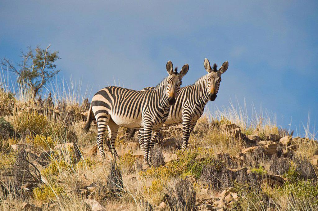 Stock Photo: 1848R-280992 Hartmann´s Mountain Zebras Equus zebra hartmannae, Naukluft Mountains, Namibia, Africa