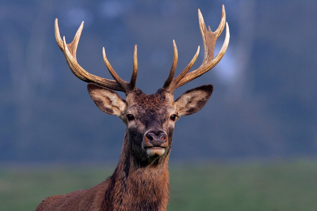 Stock Photo: 1848R-281238 Red Stag during the rut - Red Deer - male Cervus elaphus