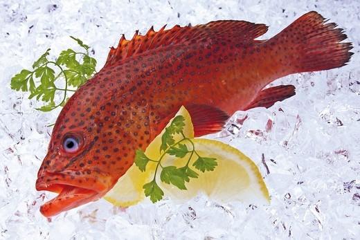 Miniata Grouper Cephalopholis miniata fish on ice : Stock Photo