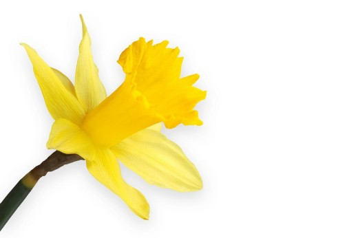 Daffodil Narcissus : Stock Photo