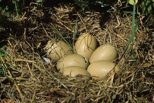 Tufted Duck´s Aythya fuligula nest, commencement of hatching : Stock Photo