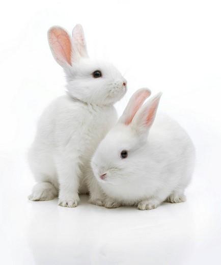 Stock Photo: 1848R-281915 Two white rabbits