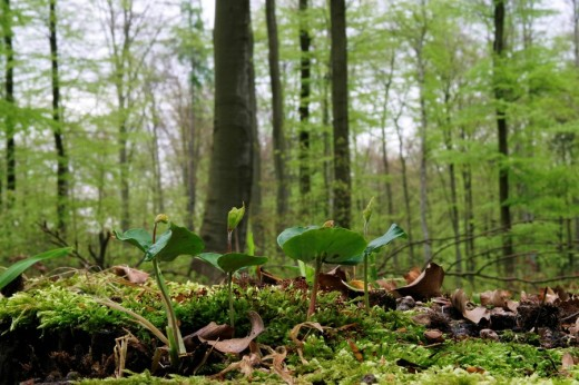 Beech seedlings on the forest ground in a spring beech forest : Stock Photo