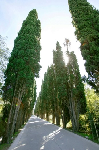 Street lined with cypresses in Tuscany, Italy : Stock Photo