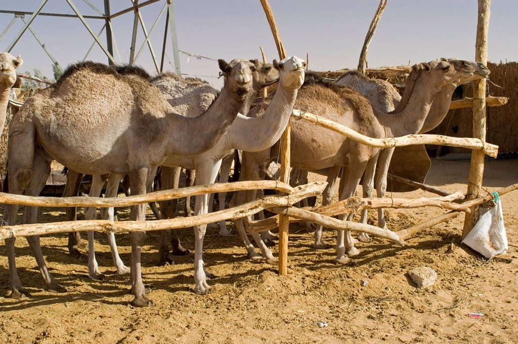Camels at the camel market of Kufra, Kufrah, Libya : Stock Photo