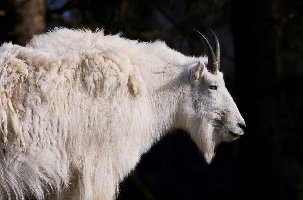 Rocky mountain goat Oreamnos americanus : Stock Photo