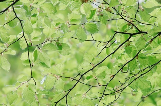 Stock Photo: 1848R-283042 Beech leaves in spring, North Rhine-Westphalia, Germany Fagus sylvatica