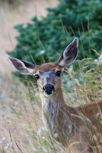 Black_tailed Deer Odocoileus hemionus, female, on Hurricane Ridge, Olympic National Park, Washington, USA : Stock Photo