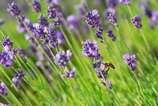 Lavender - Lavandula Angustifolia : Stock Photo